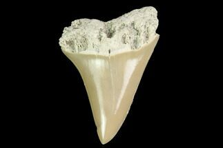 Carcharodon (Isurus) hastalis - Fossils For Sale - #142323