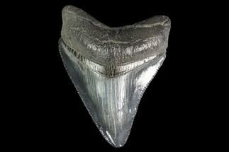 "Serrated, 2.53"" Juvenile Megalodon Tooth - Georgia For Sale, #142343"