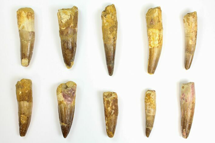 "Wholesale Lot: 2.2 to 3.4"" Bargain Spinosaurus Teeth - 10 Pieces"