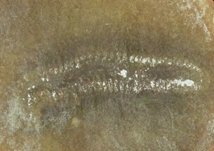 "1.6"" Fossil Worm (Astreptoscolex) Pos/Neg - illinois For Sale, #120716"