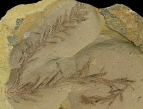 Dawn Redwood (Metasequoia) Fossils - Montana For Sale, #142571