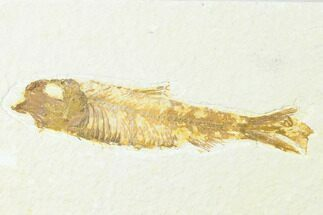"Buy 3.5"" Fossil Fish (Knightia) - Wyoming - #143452"