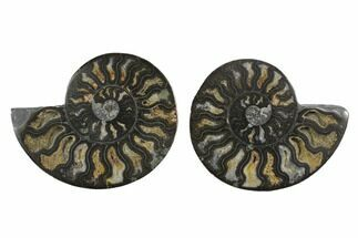 Cleoniceras - Fossils For Sale - #132708