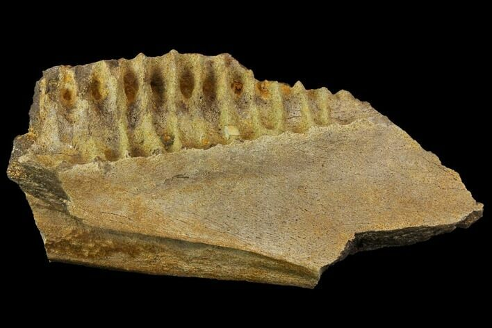 "7.5"" Fossil Triceratops Jaw Section With Teeth - South Dakota"