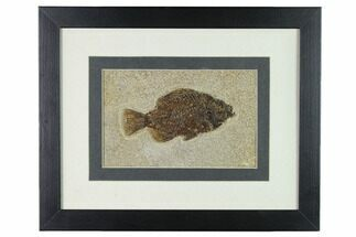 "Buy 4"" Framed Fossil Fish (Cockerellites) - Wyoming - #143989"
