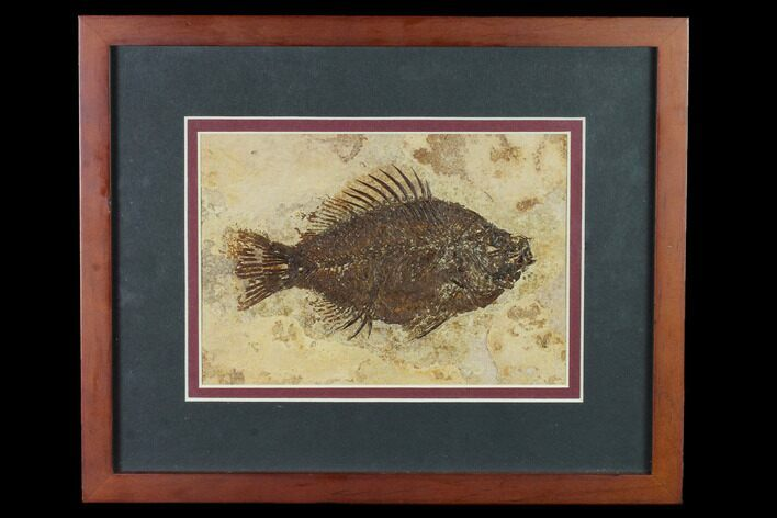 "5.5"" Framed Fossil Fish (Cockerellites) - Wyoming"