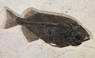 "Buy Huge, 20.7"" Fossil Fish (Phareodus) - Exceptional Specimen! - #144007"