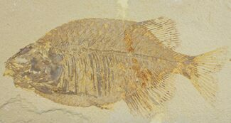 "9.1"" Uncommon Fish Fossil (Phareodus) - Wyoming For Sale, #144134"
