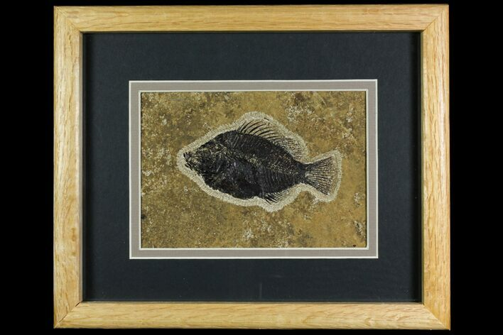 "4.25"" Framed Fossil Fish (Cockerellites) - Wyoming"