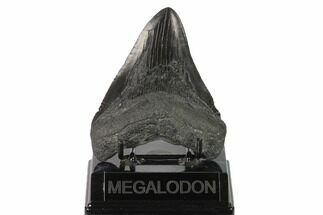 "4.63"" Fossil Megalodon Tooth - Georgia For Sale, #144329"