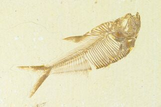 "3.1"" Fossil Fish (Diplomystus) - Green River Formation For Sale, #144197"