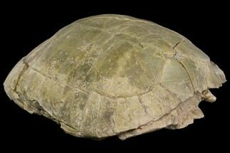 "9.6"" Fossil Tortoise (Stylemys) - Wyoming For Sale, #143834"