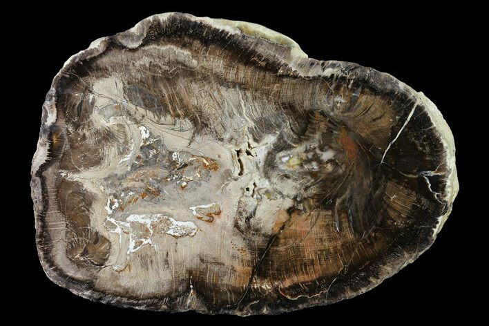 "10"" Polished Petrified Wood (Oak) Round - Oregon"