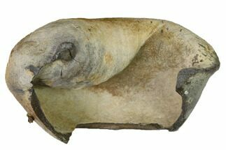 "3.3"" Fossil Whale Ear Bone - Miocene For Sale, #144914"