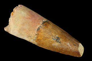 "1.87"" Spinosaurus Tooth - Real Dinosaur Tooth For Sale, #144938"