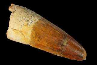 "1.71"" Spinosaurus Tooth - Real Dinosaur Tooth For Sale, #144944"