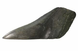 "Buy 5.5"" Partial, Fossil Megalodon Tooth ""Paper Weight"" - #144418"