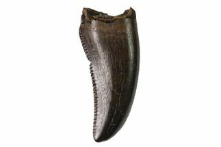 ".43"" Theropod (Baby Tyrannosaur?) Tooth - Judith River Formation For Sale, #144893"