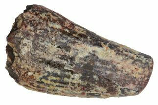 "Buy .84"" Fossil Phytosaur Tooth - Arizona - #145003"