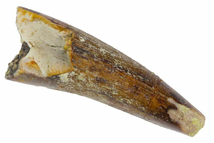 "Serrated, 1.5"" Fossil Phytosaur Tooth - Arizona"