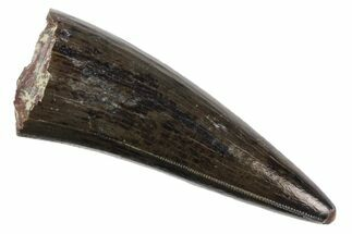 "Buy Serrated, 1.35"" Fossil Phytosaur Tooth - Arizona - #145009"