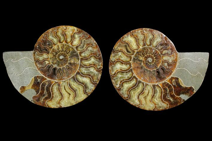 "6.85"" Agatized Ammonite Fossil (Pair) - Agatized"