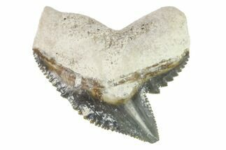 "Buy 1.15"" Fossil Tiger Shark Tooth - Bone Valley, Florida - #145150"