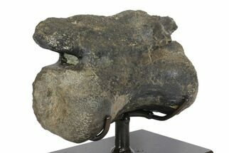 Daspletosaurus sp.? - Fossils For Sale - #145167