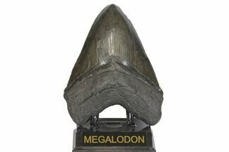 Carcharocles megalodon - Fossils For Sale - #145245