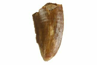 "Bargain, .5"" Raptor Tooth - Real Dinosaur Tooth For Sale, #144632"