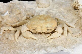 "Buy 3.1"" Fossil Crab (Potamon) Preserved in Travertine - Turkey - #145045"