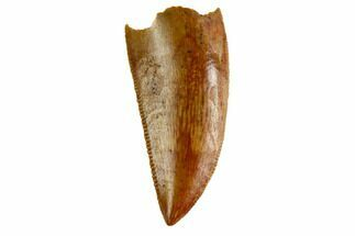 "Serrated, .9"" Raptor Tooth - Real Dinosaur Tooth For Sale, #144644"