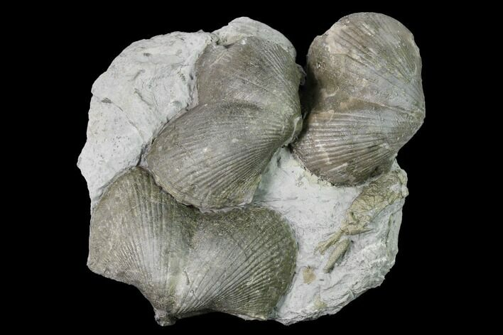 Pyrite Replaced Brachiopod (Paraspirifer) Fossils on Shale - Ohio