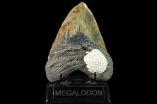 Carcharocles megalodon - Fossils For Sale - #145461