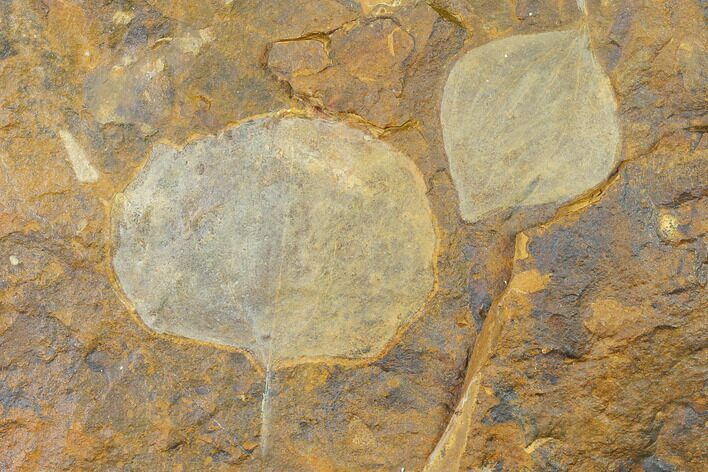 Two Paleocene Fossil Leaves (Cocculus) - North Dakota