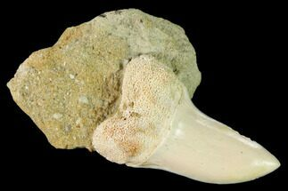 "1.4"" Fossil Mako Shark Tooth On Sandstone - Bakersfield, CA For Sale, #144410"