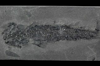"5"" Devonian Lobed-Fin Fish (Osteolepis) - Scotland For Sale, #98036"