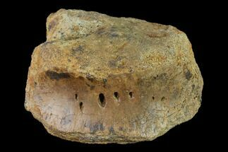 "Buy Bargain, 4.9"" Hadrosaur (Edmontosaur) Dorsal Vertebra - South Dakota - #145834"