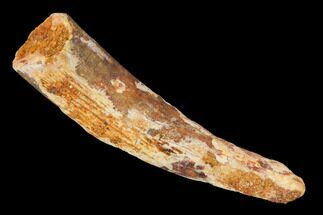 "Bargain, 1.05"" Fossil Pterosaur (Siroccopteryx) Tooth - Morocco For Sale, #145778"