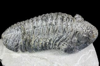 Drotops megalomanicus - Fossils For Sale - #146598