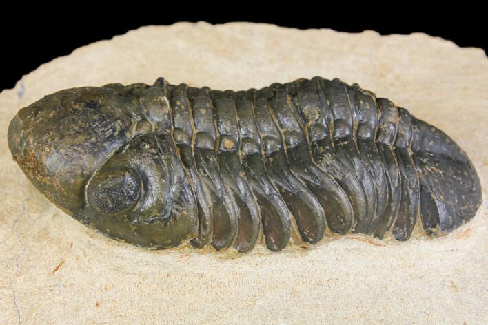 "Detailed, 2.75"" Reedops Trilobite - Atchana, Morocco"