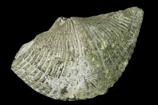 Paraspirifer bownockeri - Fossils For Sale - #145626
