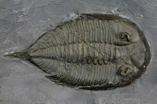 "2.45"" Dalmanites Trilobite Fossil  - New York For Sale, #147266"