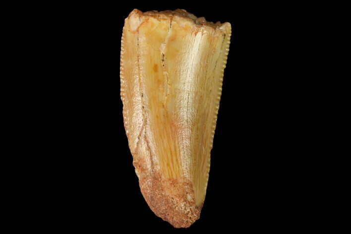 "Bargain, .6"" Raptor Tooth - Real Dinosaur Tooth"