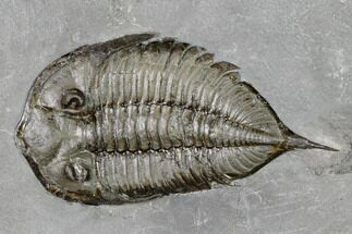 "Buy 2.55"" Dalmanites Trilobite Fossil  - New York - #147301"