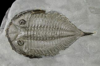 "2.4"" Dalmanites Trilobite Fossil  - New York For Sale, #147305"