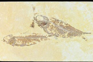 "Buy 4.4"" Fossil Fish (Knightia) - Green River - Wyoming - #148552"