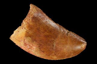 "Bargain, 1.04"" Carcharodontosaurus Tooth - Real Dinosaur Tooth For Sale, #145736"