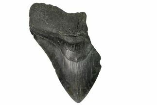 Carcharocles megalodon - Fossils For Sale - #148716