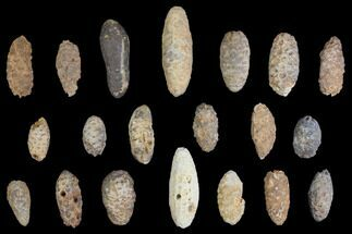 Buy Lot: Fossil Seed Cones (Or Aggregate Fruits) - 20 Pieces - #148846